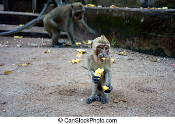 Young monkey sitting on the ground and eating banana