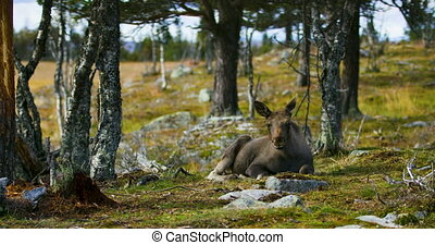 Young moose calf lying on the forest floor resting in the...