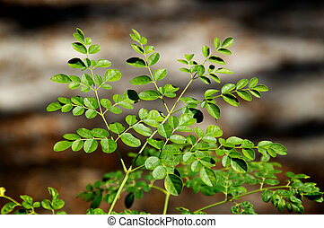 young moringa tree in sunshine