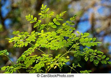 young moringa tree leaves