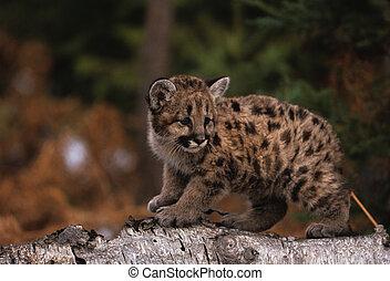 Young Mountain lion - a mountain lion kitten on a log