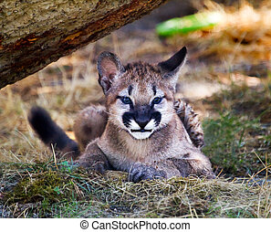 Young Mountain Lion Cougar Kitten Hiding Puma Concolor