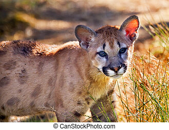Young Mountain Lion Cougar Kitten Puma Concolor