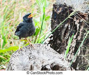 Young myna bird
