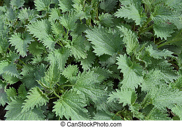 Young nettle in a garden
