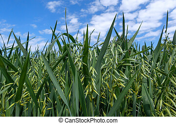 Young oat in closeup on a field