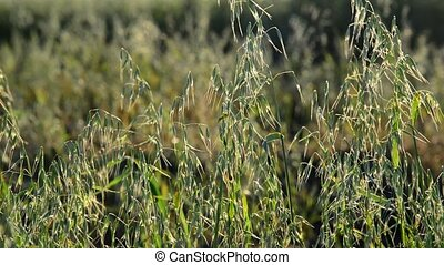 young oats closeup at sunset - young oats closeup in the...