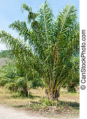 Young oil palm tree plantation