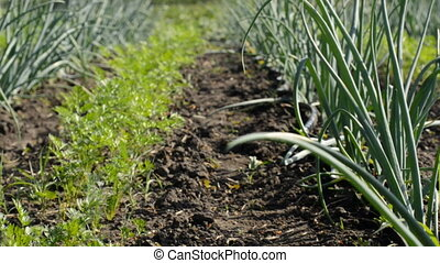 Young Onion and Carrot Plantation. Motorized Dolly shot.