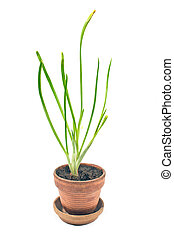 Young onion plant in pot isolated white