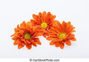 young orange  chrysanthemum flower isolated on white
