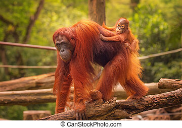 Young orangutan is sleeping on its mother.