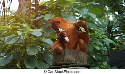 Young Orangutan Sits on a Stump at the Zoo. Full HD 1080p video