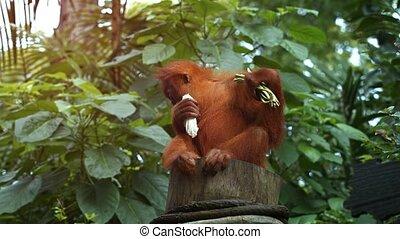 Young Orangutan Sits on a Stump at the Zoo. UltraHd 4k video