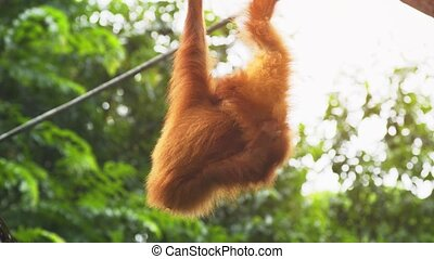 Pair of young orangutans, with their typical red hair, swinging from thick vinesin the jungle. 4k Ultra HD video