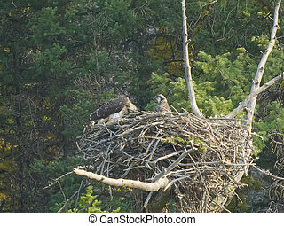 young osprey on a nest scratches its head in yellowstone