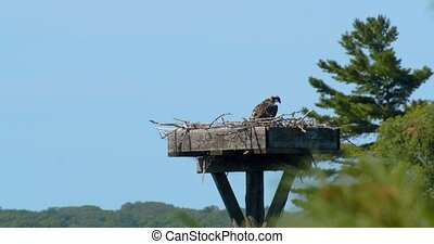 Solitary juvenile fish hawk sitting in a nest watching over the environment on a clear summer day