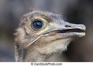 Young Ostrich Bird Portrait