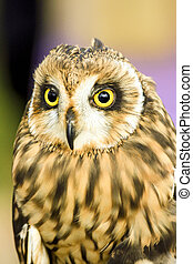 Young owl with big yellow eyes.