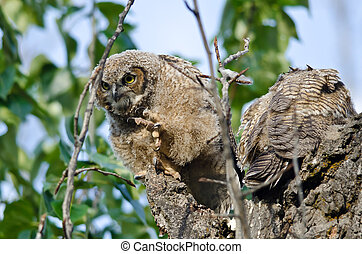 Young Owlet Peering in the Distance with Claw Extended