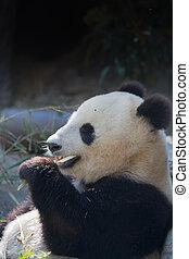 Young Panda eating bamboo shoots