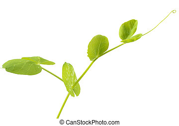 Young pea plant growth upward on white background