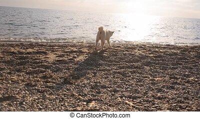 Young pedigree shiba inu dog walks down the beach and plays ...