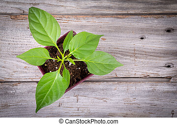 young pepper plant growing in pot