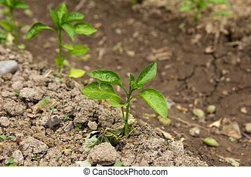 Young peppers in the garden
