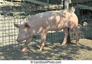 young pig at his farm