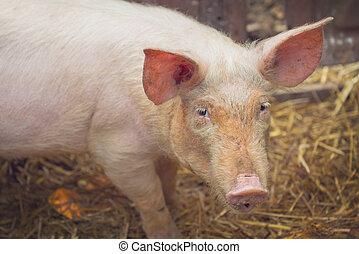 Young Pig on Breeding Farm