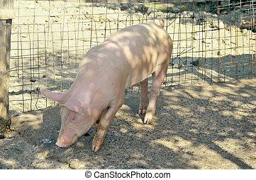 young pig on the farm