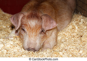 young pig
