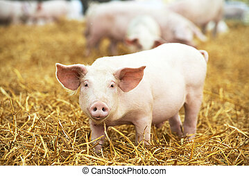 Young piglet on hay and straw at pig breeding farm