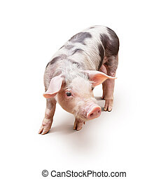 Young piglet, pietrain breed, over white background