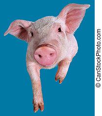 Young pig closeup