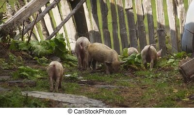 Young pigs at this traditional Svan village in the Republic of Georgia. Stock footage