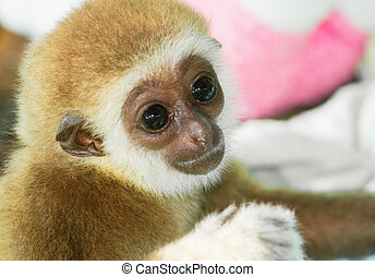 Young Pileated Gibbon - Young  Gibbon