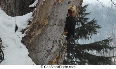 Young Pileated woodpecker - A pileated woodpecker on an old...