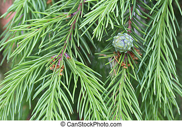 Young pine cone on branch green spruce.