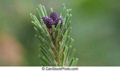 Young pine tree, close-up. - Young pine tree Latin Pinus...