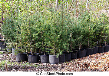 young pine tree in plastic pots on tree farm