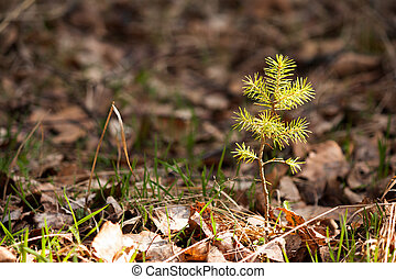 Young pine tree in spring forest