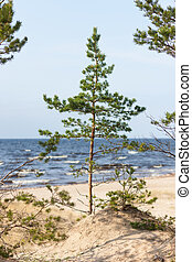 Young pine tree on the beach by the sea in autumn
