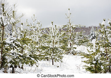 Young pine trees covered in snow