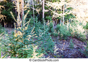 Young pines and firs in summer forest