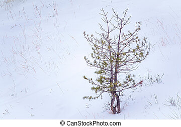 Young pines in the winter forest