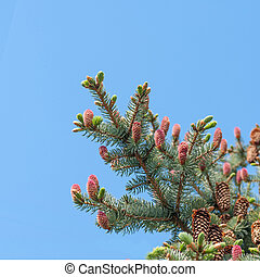young pink pine cone on a branch