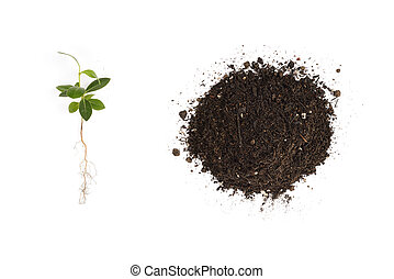 young Pittosporum tobira and small heap of soil for repotting, isolated on white background