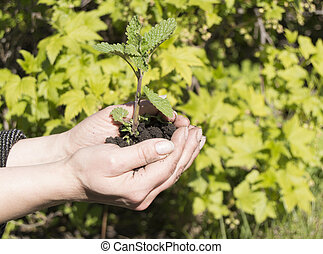 Young plant in female hands. The concept of new life